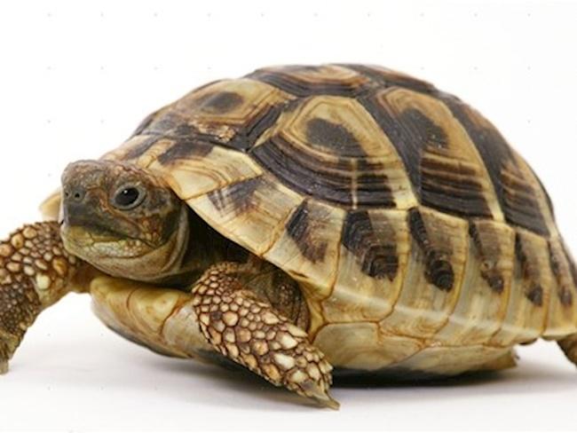 sanovnik kornjaca