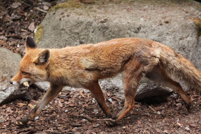 sanovnik lisica