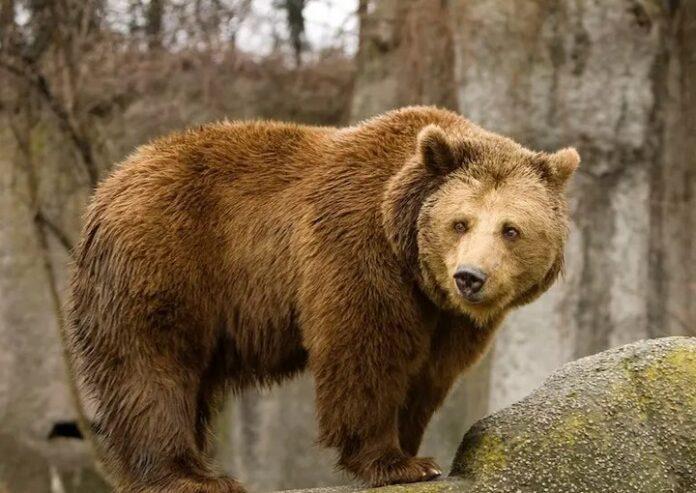 sanovnik medved