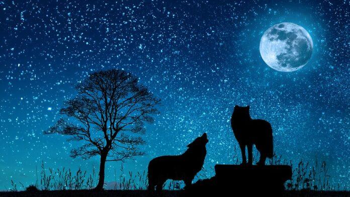 sanovnik vuk