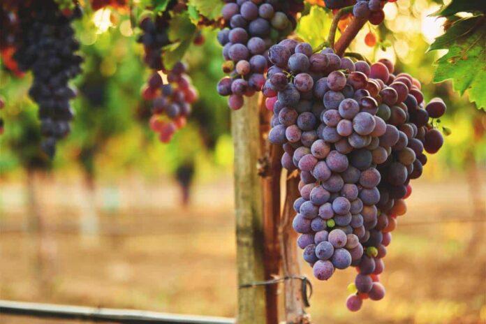 sanovnik grozdje