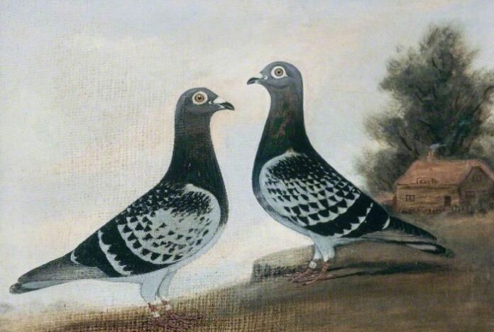 sanovnik golub
